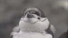 Chinstrap penguin (Pygoscelis antarctica) moulting chicks preens Stock Footage
