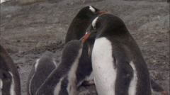 Gentoo penguin (Pygoscelis papua) chick at nest being fed by adult Stock Footage