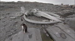 Small gentoo penguin (Pygoscelis papua) colony with whale skeleton behind Stock Footage