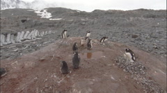 Small gentoo penguin colony, move to see whale skeleton behind Stock Footage
