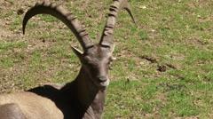 Stock Video Footage of Alpine ibex (capra ibex) buck in meadow - medium shot
