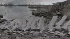 Whale bones with small gentoo penguin (Pygoscelis papua) colony behind Stock Footage
