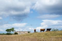 Grazing cattle in front of an old castle ruin Stock Photos