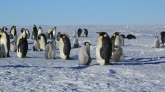 Emperor penguins (Aptenodytes fosteri) part of colony Stock Footage