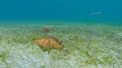Starfish move across sea floor Stock Footage