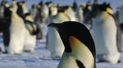 Emperor penguin (Aptenodytes fosteri) adult Stock Footage