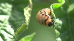 Larvae Colorado Potato beetle - agriculture pest, macro Stock Footage