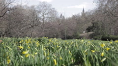 Daffodils in St James Park, City of Westminster, London, England, UK Stock Footage