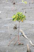 propagated for mangrove trees. - stock photo