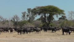 Herd of Buffaloes in African landscape Stock Footage