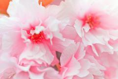 Close up of blooming sakura - stock photo