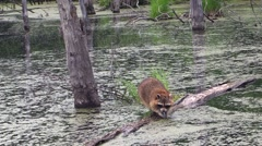A racoon reaches for food under a log Stock Footage