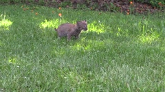 Baby bobcat in the grass 2 Stock Footage
