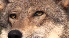 Wolf face close up Stock Footage