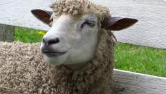 CHEWING SHEEP CLOSE-UP: - stock footage