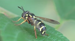 Young wasp sits on green grass Stock Footage