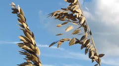 Sea Oats blowing in the wind Stock Footage