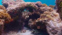 Trunk Fish Swimming Around Coral Stock Footage