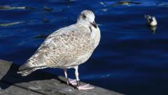 Seagull in Oslo, Norway Stock Footage