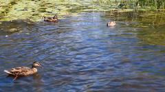 Wild ducks in their natural habitat Stock Footage