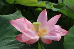 Lotus flower and seedpod - stock photo