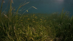 Rabbitfish feeding on seagrass in shallow water Stock Footage