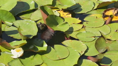 Bullfrog on Lilly Pads Stock Footage
