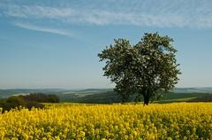isolated tree in rape field - stock photo