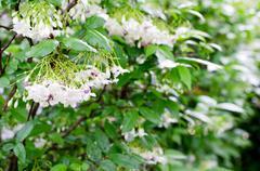 white flowers. - stock photo
