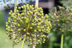 Giant onion (allium giganteum) Stock Photos