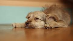 slumbering sad dog lying on a wooden floor - stock footage