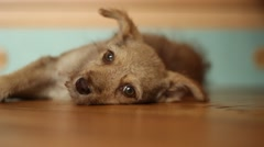 cute mongrel lying on yellow wooden floor - stock footage