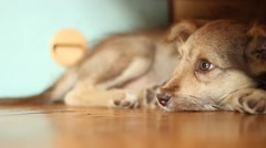 cute sad mongrel lying on the floor, close-up - stock footage