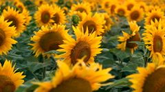 Sunflowers. Shot with motorized slider Stock Footage