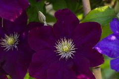 Flower of clematis Stock Photos