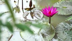 Lotus Flower on the water look beautiful and fresh in the morning Stock Footage