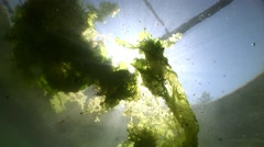 Marine algae float in the water with sun background Stock Footage