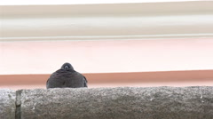 A barn swallow bird facing backward  gh4 Stock Footage