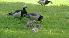 Three goose and four goslings  fs700 odyssey 7q Stock Footage
