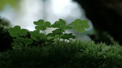 An oxalis acestosella plant on a mystic forest  fs700 odyssey 7q Stock Footage