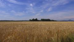 Summer field ripe corn panoramic landscape Stock Footage