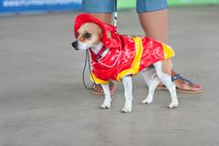 Jack russell terrier wears fireman costume in contest Stock Photos