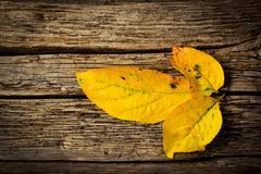 three yellow autumn leaves - stock photo