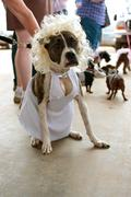 Dog wears marilyn monroe costume in contest Stock Photos