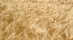Wheat blowing in Wind Stock Footage