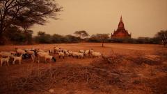 Goat herd and temple in Bagan, Myanmar. Stock Footage
