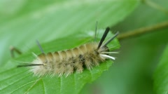 Banded Tussock Moth Caterpillar chews on leaf in HD 4K Stock Footage