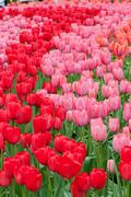 Flower beds of multicolored tulips Stock Photos