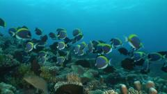 School of powder blue surgeonfish in coral reef Stock Footage