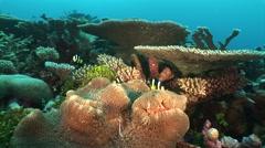 School of anemonefish Stock Footage